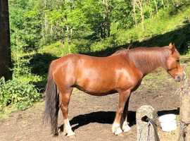 wanted 15hh or over