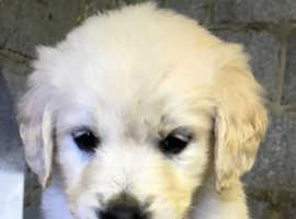 Golden Retrievers pups