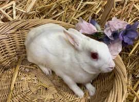 Beautiful polish rabbit buck Male