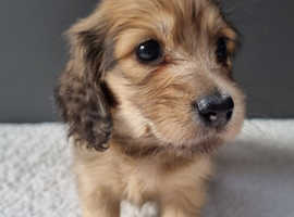 Miniature longhaired dachshund boys shaded cream and cream