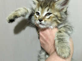 Pedigree Pixiebob BOY kitten TICA Reg