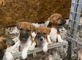 Plummer terrier dog puppies