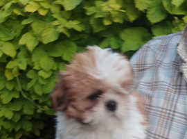 KC Registered Lhasa Apso 2 Bitch Puppies for sale