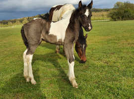 April 2021 coloured cob filly
