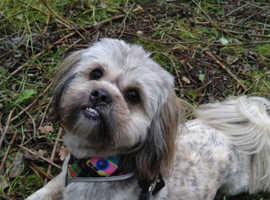 shih tzu cross