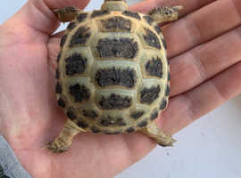 Horsefield tortoises 7 months old ready now