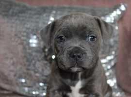 xxxx joyful spirit, blue Staffie Puppies for sale xxxx