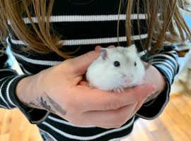 Baby Dwarf Hamsters