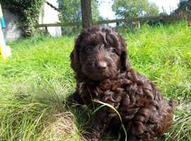 Chocolate Miniature Labradoodle Puppies