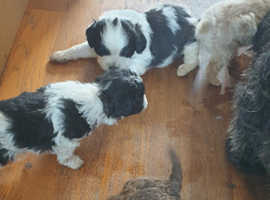 Gorgeous shihpoos looking for forever homes