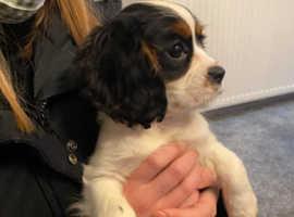 Loving Tri Colour Kings Charles Cavalier Puppy