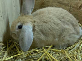 Stunning French lop cross English spot rabbit buck Male