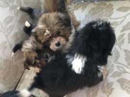 Shihtzu cross Yorkshire terrier
