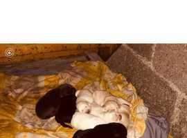 Litter of 8 KC puppy's