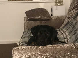 Looking for a stud to breed our Gorgeous Pressure (Female Rottweiler)