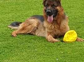 Super quality german shepherd pups