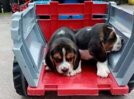 Stunning beagle puppies