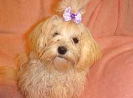 XXXXXS Exquisite Apricot F1 Maltese X Toy Poodle Maltipoo Puppy 6 Months Old