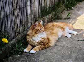 Maine coon for stud