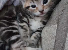 Kitten NOW RESERVED