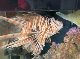 Adult Lion Fish