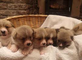 Kc Registered Pembrokeshire Corgi puppies