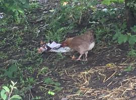 Laying Legbar Chicken Hen