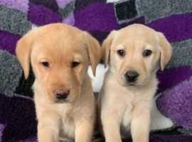 Golden Labradors For Sale