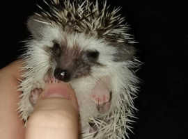 African Pygmy Hedgehogs ALL CURRENTLY RESERVED