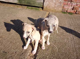 Whippet Puppies - ready to leave now