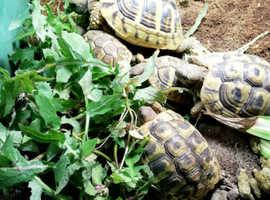 Baby home bred Hermann tortoises