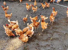 Ex commercial hens