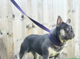 Lilac and tan kc registered french bulldog