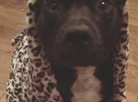 King staffy stud not for sale!!