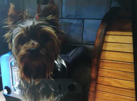 mini very tiny yorkshire terrier male