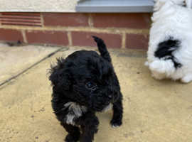 Healthy Toy Poodle Puppies ready 4th August