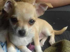 Beautiful Boy Chihuahua