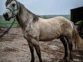 Beautiful quarter horse X gelding