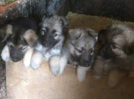 Super Cute German Shepherd Puppies 9Weeks