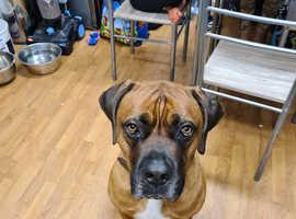 Beautiful dog needs new home