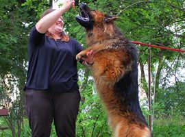 Beautiful pedigree German shepherd puppies