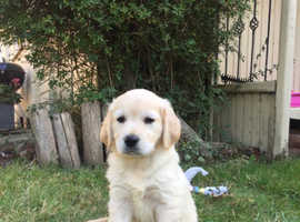2 kc Reg golden retriever puppies for sale