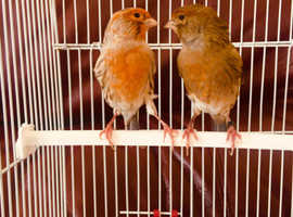 A pair of canaries for sale
