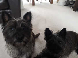 2 cairn terriers