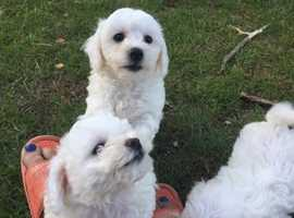 3 male Bichon Frise pups, 10 weeks old