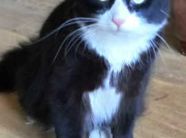WANTED MALE OR FEMALE  NEAUTERED BLACK AND WHITE CAT LIKE FELIX