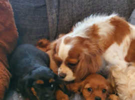 Cavalier King Charles Spaniel Puppies for sale in Manchester
