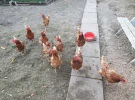 11 Goldline chickens