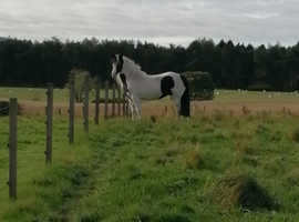 Cob x fresian, 15.2hh, 10 years old.