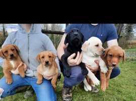Litter of full pedigree male Labradors for sale